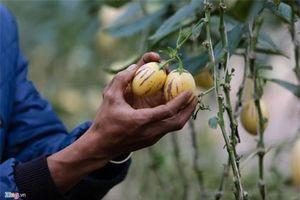 Khám phá trang trại dưa hấu tí hon 10 mùi ở Đà Lạt