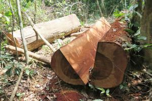 Khởi tố nguyên trạm trưởng bảo vệ để xảy ra phá rừng
