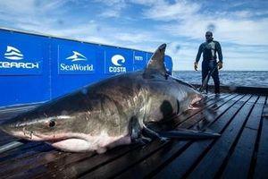 Cá mập trắng dài 5m 'dạo chơi' tại bờ biển Florida