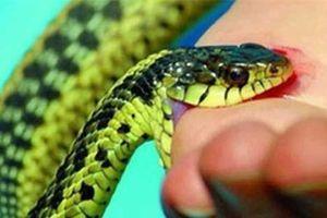 Nọc độc rắn cạp nia, loại rắn phổ biến ở Việt Nam, gây chết người nhanh tới mức nào