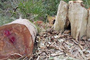 Khởi tố Trạm trưởng trạm bảo vệ rừng vì để 'lâm tặc' phá rừng Lim