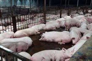 Khởi tố chủ tịch xã 'ăn' tiền đền bù dịch tả lợn Châu Phi