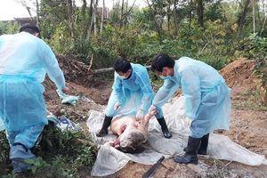 Bắt chủ tịch xã cùng 3 cán bộ khai khống lợn bị nhiễm dịch tả châu Phi để trục lợi