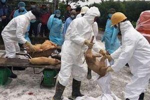 Bắt tạm giam Chủ tịch và 3 cán bộ xã 'ăn bẩn' tiền hỗ trợ tiêu hủy dịch tả lợn châu Phi