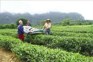 Nghệ An: Trồng chè giúp bà con vùng cao Con Cuông tăng thu nhập