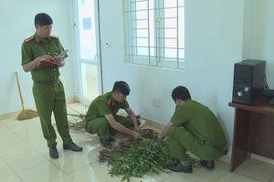 Phát hiện hàng trăm cây cần sa trong rẫy nhà dân