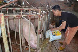 Hà Nội: Phạt 196 hộ tái đàn lợn không đúng quy định