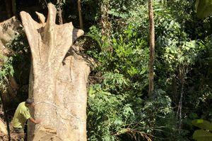 Gỗ trăm tuổi bị đốn la liệt trong rừng Nam Kar, ban quản lý nói không có chuyện phá rừng