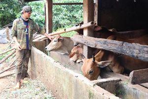 Gia Lai: Phát triển đàn gia súc ăn cỏ