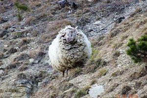 Bốc mùi 'tởm lợm', cừu hoang dã thoát chết vì đến sói cũng chê