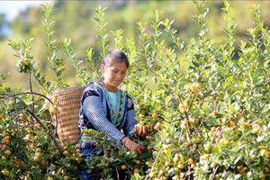 Sơn La: Trồng cây sơn tra cho hiệu quả kinh tế cao ở Bắc Yên