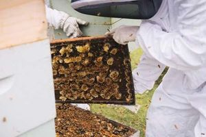 Lọ mật ong giá 40 triệu đồng được làm từ loại ong gì mà đắt thế?