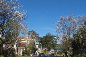 Hoa ban nhuộm trắng phố phường Đà Lạt