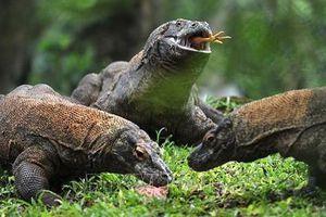 Indonesia bán vé trực tuyến đến đảo rồng Komodo từ năm 2020
