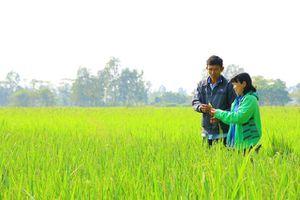 Vợ chồng người nông dân nặng lòng với giống lúa Nhật Akita Komachi
