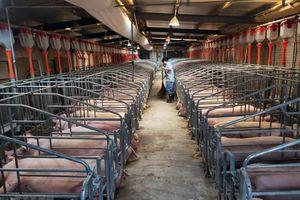 Khủng hoảng thịt lợn khiến tài sản của nhiều 'đại gia' tăng vọt
