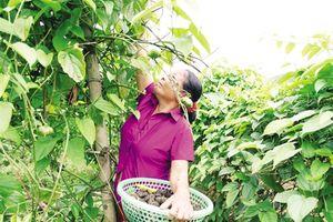 Triển vọng cây Sachi