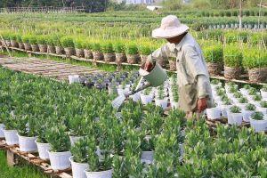 Làng hoa kiểng miền Tây chuẩn bị 'hàng độc' cho Tết Canh Tý 2020