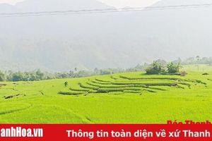 Tín hiệu vui từ mô hình thâm canh lúa cải tiến SRI tại huyện Bá Thước