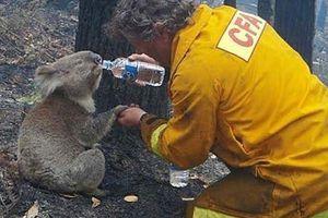 Người dân Australia quyên tiền cứu gấu túi trước thảm họa cháy rừng