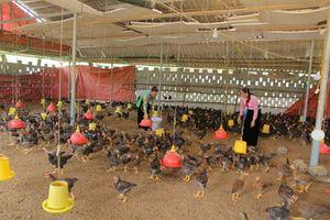 Hòa Bình: Phát triển chăn nuôi gia cầm theo chuỗi liên kết