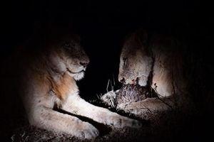 Đôi sư tử thử ăn thịt tê tê: Cuộc chơi bóng sắt