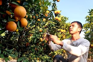 Thu lợi hàng trăm triệu đồng từ trồng cam VietGAP