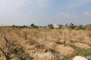 Vụ hơn 1 nghìn gốc đào tết bị bụi phủ trắng xóa: hỗ trợ mỗi cây 50 nghìn đồng