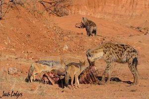 Chó rừng và linh cẩu xâu xé mồi của sư tử
