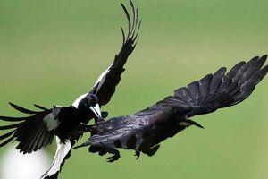 1001 thắc mắc: Chim ác là hay tấn công người, sao vẫn được yêu quý tại Úc?