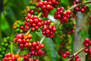 Giá cà phê hôm nay 8/1: Dứt đà giảm, tăng nhẹ 200 đồng/kg trên toàn Tây Nguyên