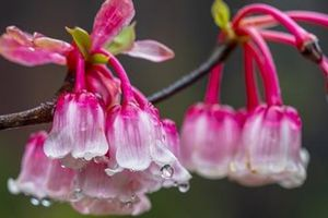 Độc đáo hoa đào chuông chỉ có duy nhất ở Đà Nẵng
