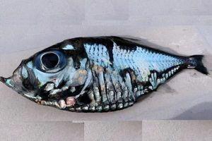 Giật mình chú cá giống hệt tranh của Picasso