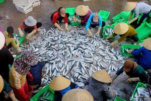 Trúng đậm cá bạc má chuyến biển đầu năm, mỗi tàu Nghệ An thu gần nửa tỷ