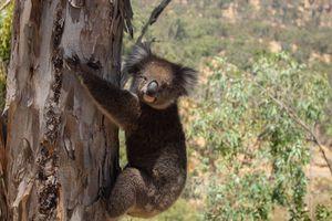 Hàng chục con koala bị giết chết bí ẩn ở Australia