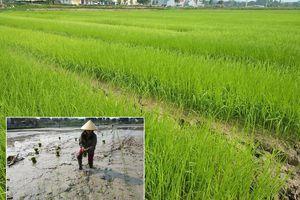 Thanh Chương: Hàng nghìn ha ruộng nguy cơ thiếu nước gieo cấy vụ Xuân