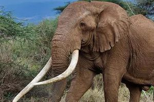 Chú voi có bộ ngà lớn nhất ở Châu Phi đã chết