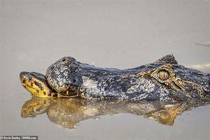 Trăn Anaconda và cá sấu ác chiến 'kịch liệt' và cái kết 'không có hậu'