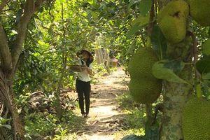Bà Rịa – Vũng tàu: Người trồng mít Thái tổn thất nặng