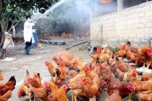 10 vạn gia cầm bị cúm tiêu hủy, lo Covid-19 lan trên động vật