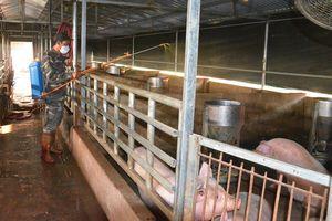 TP Móng Cái: Chủ động phòng, chống dịch bệnh cho gia súc, gia cầm