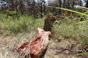 Kon Tum điều tra vụ phá rừng Đăk Tô, phát hiện thêm 11 lóng gỗ dổi