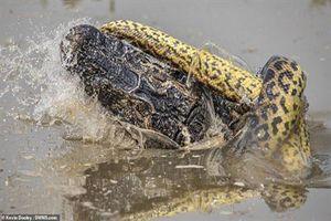 Cái kết ngỡ ngang sang cuộc chiến kịch tính giữa trăn Anaconda khổng lồ và cá sấu