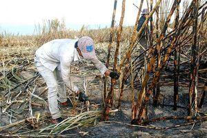 Gia Lai: Hơn 30 ha mía bị cháy khi chuẩn bị thu hoạch