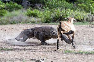 Màn hỗn chiến 'ác liệt' giữa rồng Komodo khổng lồ và dê núi