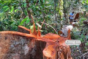 Vụ phá rừng đầu nguồn ở Bắc Trà My (Quảng Nam): Điều tra, xác minh sớm khởi tố vụ án
