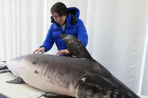 Đầu bếp Nhật sơ chế cá kiếm nặng 130 kg
