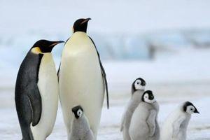 Đối thoại với loài chim cánh cụt