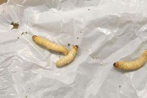 Khám phá ra 'cỗ máy ăn nhựa' 2 trong 1: Con sâu bướm cùng vi khuẩn ruột của nó tiêu hóa dễ dàng loại nhựa khó phân hủy nhất