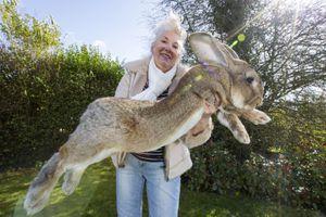 Những con thỏ khổng lồ dài hơn 1 m, lớn nhất hành tinh